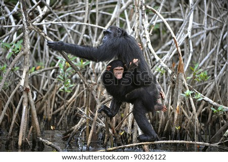 Chimpanzee with a cub. The chimpanzee with a cub on roots mangrove thickets - stock photo