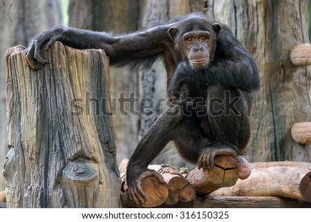 Chimpanzees. - stock photo