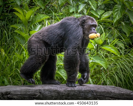 Chimpanzees cute