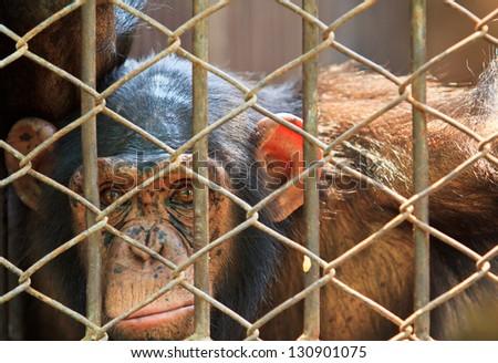 Chimpanzees in captivity. - stock photo