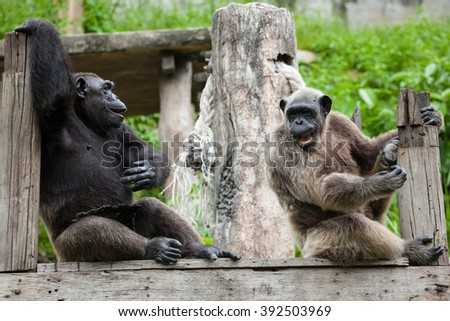 Chimpanzees sitting  in the Zoo. - stock photo