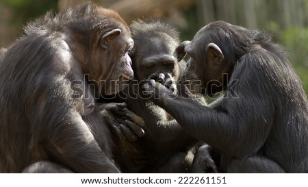 chimpanzees talk it over in committee  - stock photo