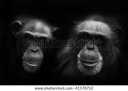 chimps - stock photo