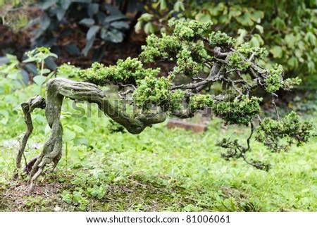 china bonsai in a nursery - stock photo