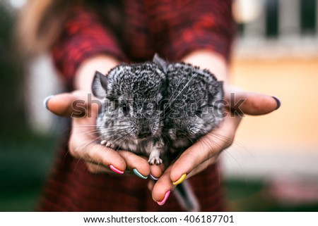 Chinchilla Baby Kids sitting on their hands. Two chinchillas - stock photo