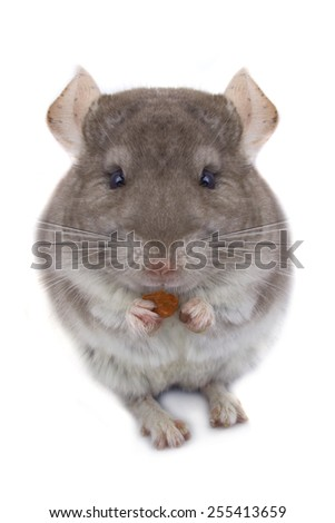 chinchilla eats an izyumn a white background - stock photo