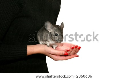 Chinchilla in the womens hand (against the white background) - stock photo