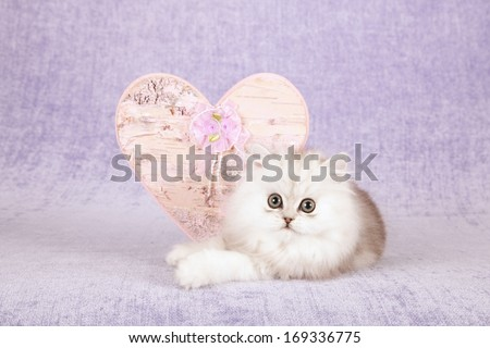 Chinchilla kitten with large pink ornamental Valentine heart against light purple lilac background - stock photo