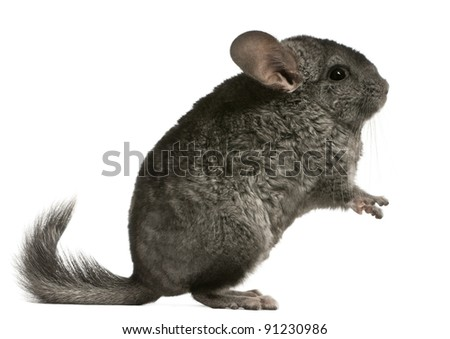 Chinchilla, 18 months old, sitting in front of white background
