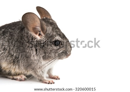 Chinchilla on a white background - stock photo