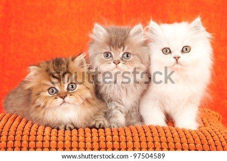 Chinchilla Persian kittens on orange cushion on orange background - stock photo