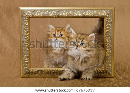 Chinchilla Persian kittens walking through picture frame - stock photo