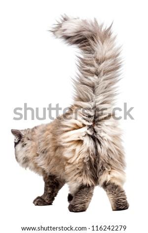 Chinchilla Persian little kitty walking away - stock photo