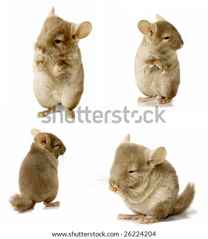 chinchilla sequence shot isolated on white - stock photo