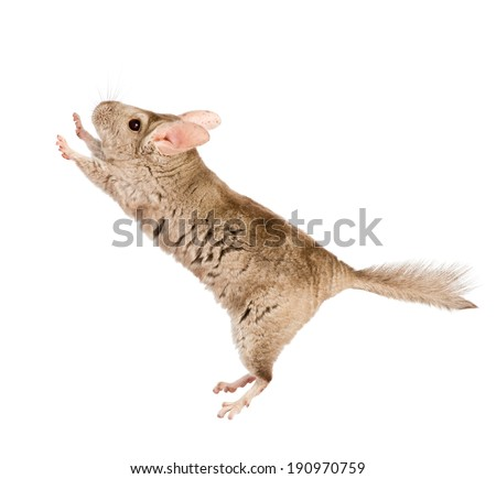 chinchilla standing on hind legs in profile. isolated on white background