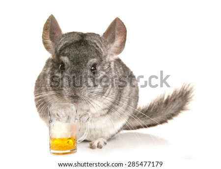 Chinchilla with a pint of beer cutout - stock photo
