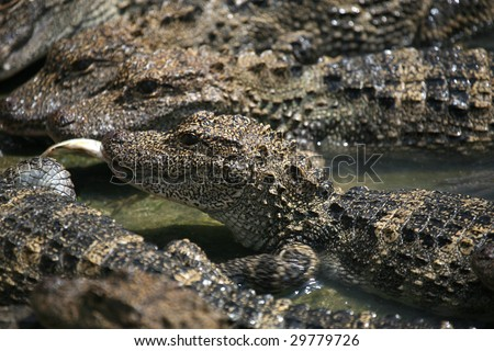 Chinese Alligator (also called the Yangtze Alligator) , an endangered animal. - stock photo