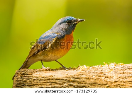 Chinese Blue Flycatcher(Cyornis glaucicomans) on the wood in nature