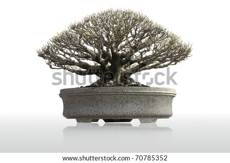 chinese bonsai - stock photo