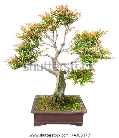 chinese bonsai tree isolated on white - stock photo