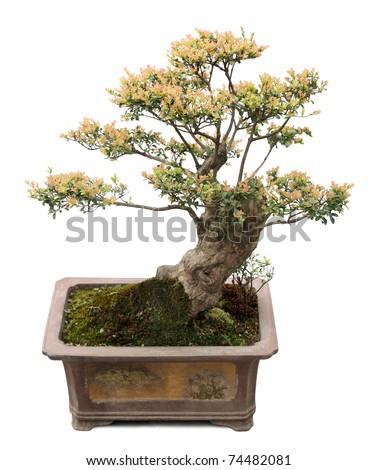 chinese bonsai tree isolated on white,  miniature elm tree. - stock photo