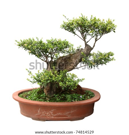 chinese bonsai tree of elm in a ceramic pot - stock photo