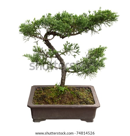 chinese bonsai tree of  pine