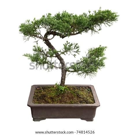 chinese bonsai tree of  pine - stock photo