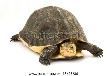 Chinese Box Turtle (Cuora flavomarginata) - stock photo