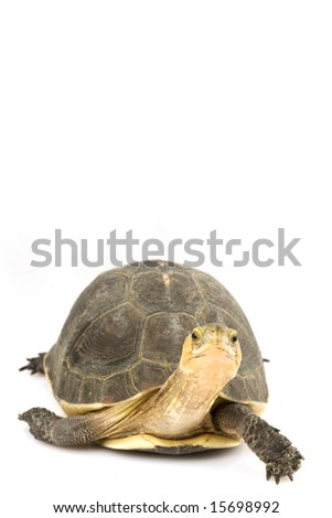 Chinese Box Turtle (Cuora flavomarginata) - stock photo