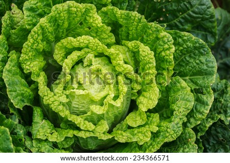 Chinese Cabbage in Organic Farm, Closeup in field background - stock photo