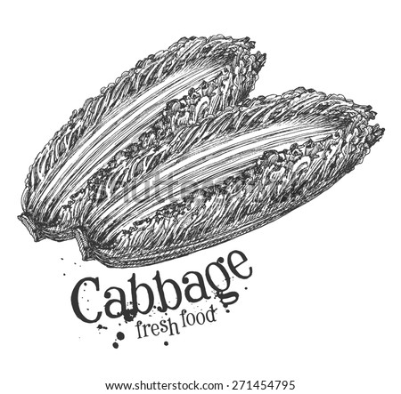 Chinese cabbage on a white background. sketch