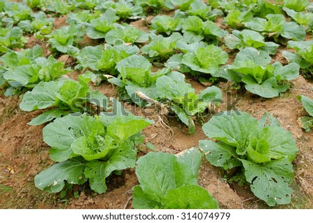 Chinese Cabbage plant