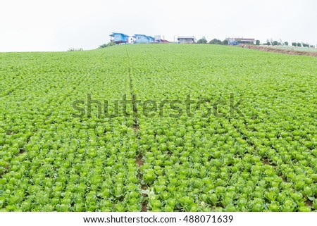 Chinese cabbages field on the top of mountain.