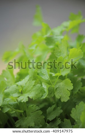Chinese celery or Thai celery. Close up at the leaves. - stock photo