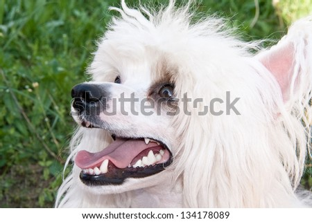Chinese Crested  breed dog closeup - stock photo