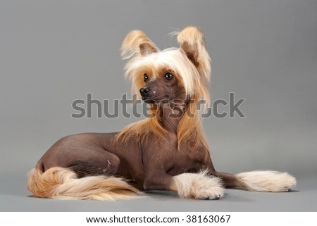 Chinese Crested Dog female lying on grey background. No isolated.