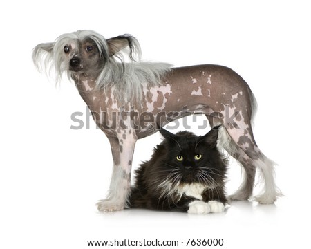 chinese crested dog Hairless and maine coon in front of a white background - stock photo