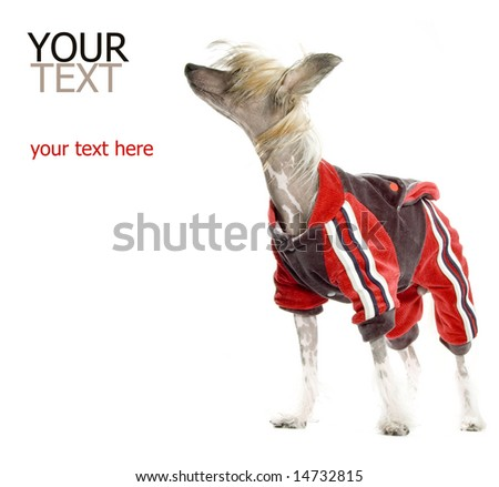 Chinese Crested Dog (hairless dog) in tracksuit - stock photo