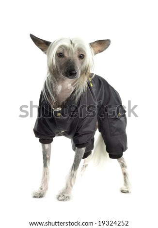 Chinese Crested Dog in black suit - stock photo