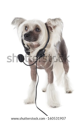 Chinese crested dog in headphones with a microphone isolated on white background in studio