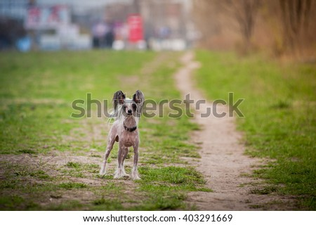 Chinese crested dog is on the meadow
