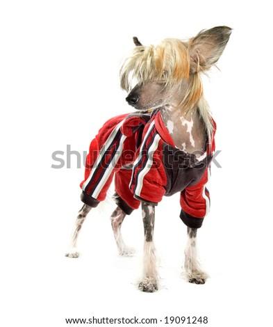 Chinese Crested Dog on white - stock photo