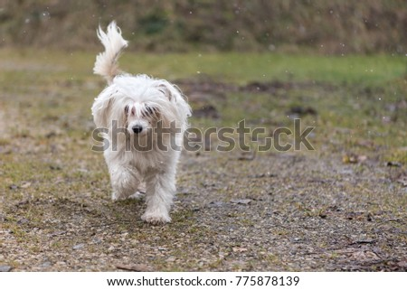 chinese crested dog powder puff runs alone in winter over a path