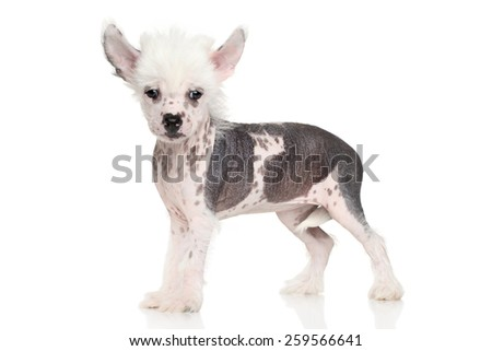 Chinese crested dog puppy standing on a white background - stock photo
