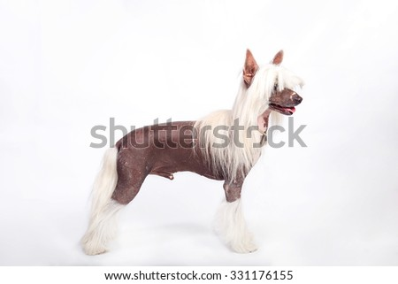 Chinese Crested Dog. The exterior Front - stock photo