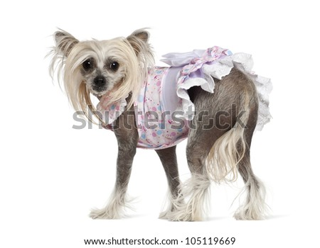 Chinese Crested Dog, 2 years old, standing against white background - stock photo