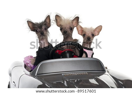 Chinese Crested dogs driving convertible in front of white background - stock photo