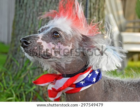 Chinese Crested Hairless dog with patriotic flag scarf and red dyed fur crest for 4th of july - stock photo
