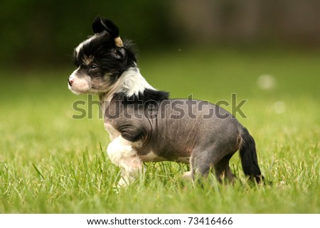 chinese crested hairless puppy is standing in green grass